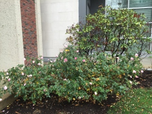 Roses in bloom outside the Harvard University Museum